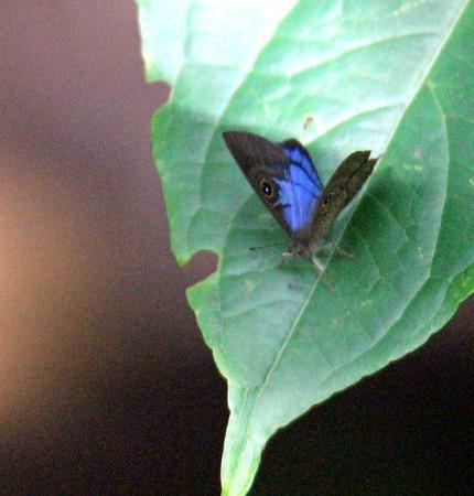 Blue-winged Sheenmark
