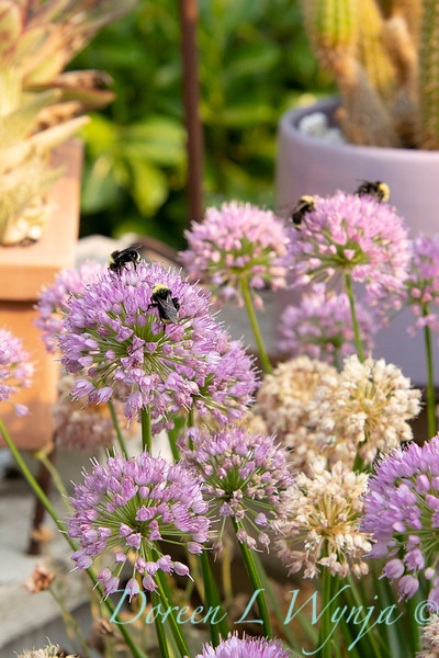 Allium 'ALLMIG1' Millenium with bees_0389.jpg