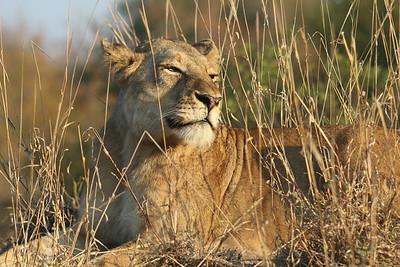 Safari Sabi Sands Game Reserve & Kruger Nat'l Park, South Africa