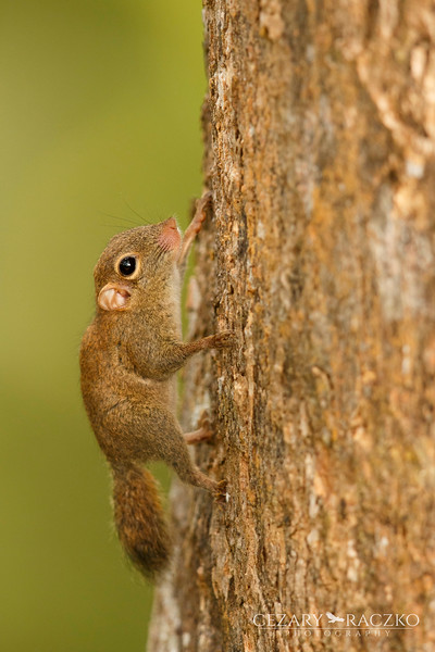 Least Pygmy Squirrel (Exilisciurus exilis)