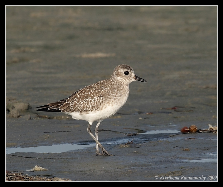 Black-Bellied Plover, Robb Field, San Diego River, San Diego County, California, September 2009