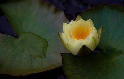 Water Lilies  at Centennial Park Conservatory 2012