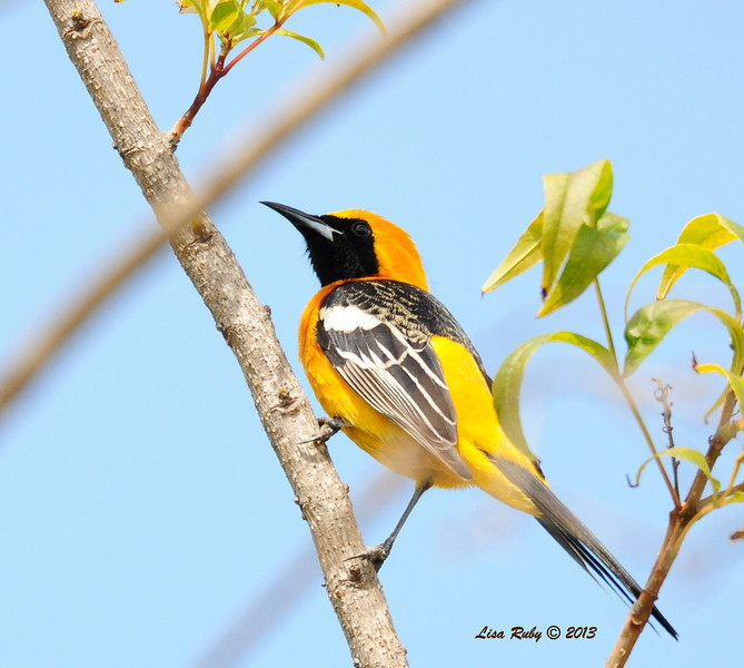 Hooded Oriole - 3/27/2014 - Backyard, Sabre Springs