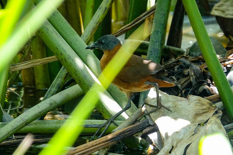 Ruddy Crake, Lancetilla Botanical Gardens, Tela Honduras