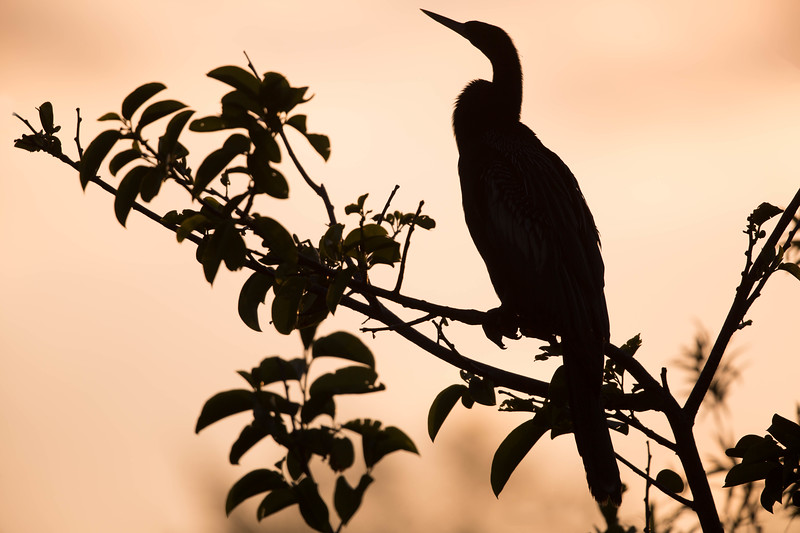 Sunset silhouette of Anhinga, Everglades National Park