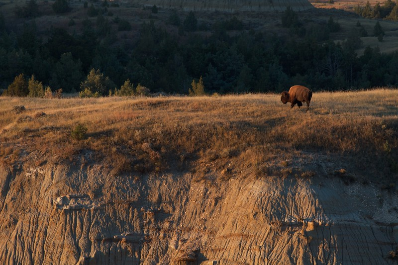Bison Theodore Roosevelt NP South Unit ND IMG_0008708.jpg