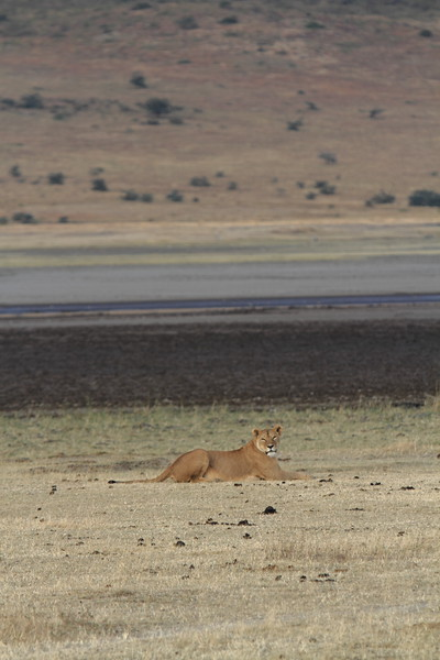 Lioness in Crater.JPG