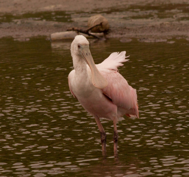 Ibises and Spoonbills (Threskiornithidae)