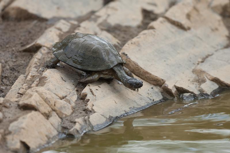 Skildpadde, Kruger National Park
