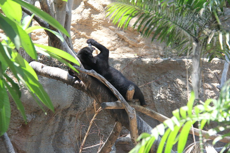 20170807-132 - San Diego Zoo - Black Bear.JPG