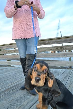 Whitehurst Bloodhound Pup
