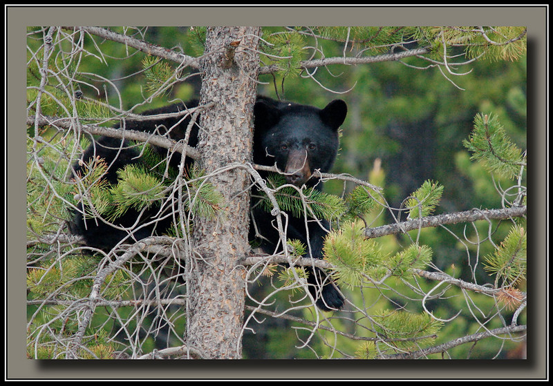 Mama Black Bear - with a long telephoto I don't need to get within 30 feet.  Took this one with about two hundred feet  and 4 or 5 humans between me and the bears.  Fortunately the park rangers showed up and shoo'd all the people away.  I shouldn't have stopped for this but moved on quickly once I realized what people were looking at.