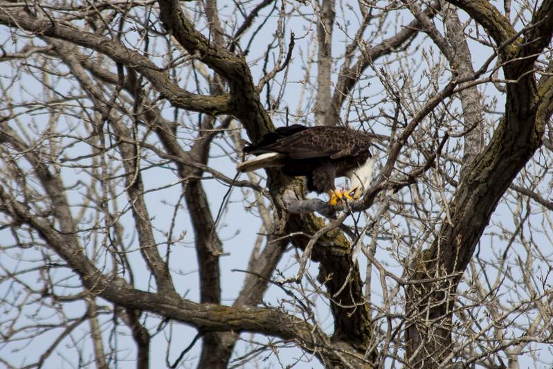 Eagle eating-7008.jpg
