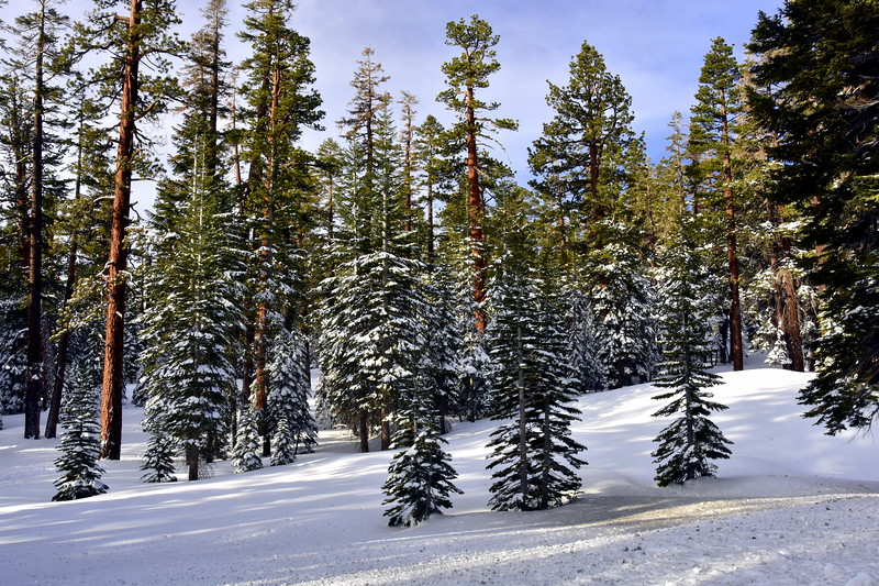 Morning Light on Snow Dusted Trees