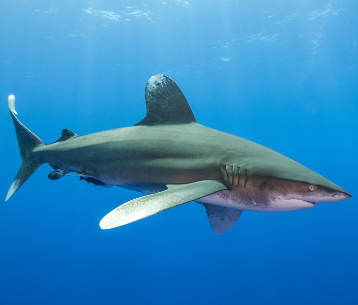 Sharks - Oceanic Whitetip