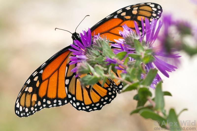 Danaus plexippus - monarch butterfly taking nectar from a fall-blooming aster.  Urbana, Illinois, USA