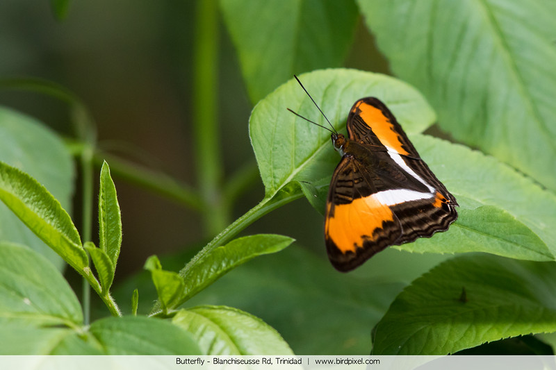 Butterfly - Blanchiseusse Rd, Trinidad