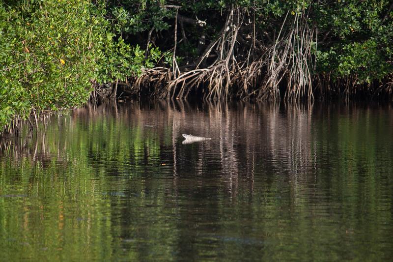 iguana in the water.jpg