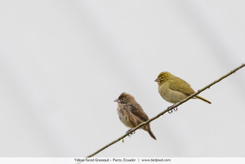 Yellow-faced Grassquit - Pacto, Ecuador