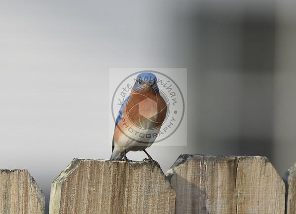 January 2018 Bluebird