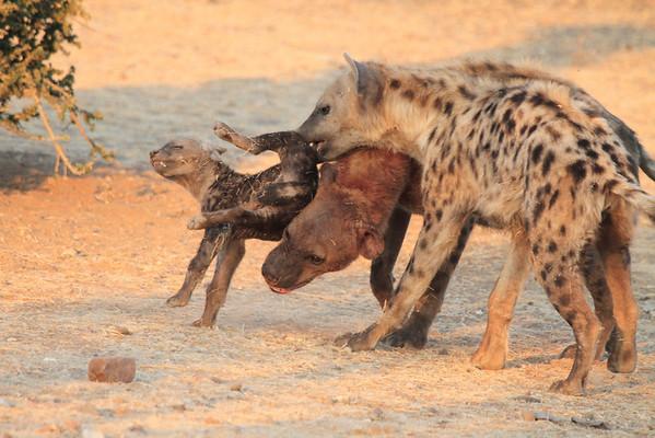 Do NOT mess with the Alpha Hyena Mashatu Botswana 2013