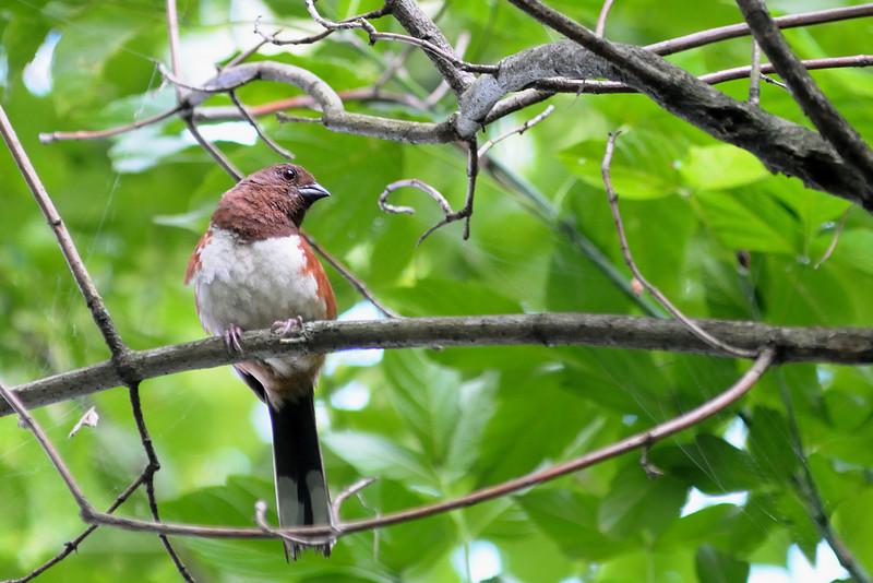 Rufous-Sided Towhee- female