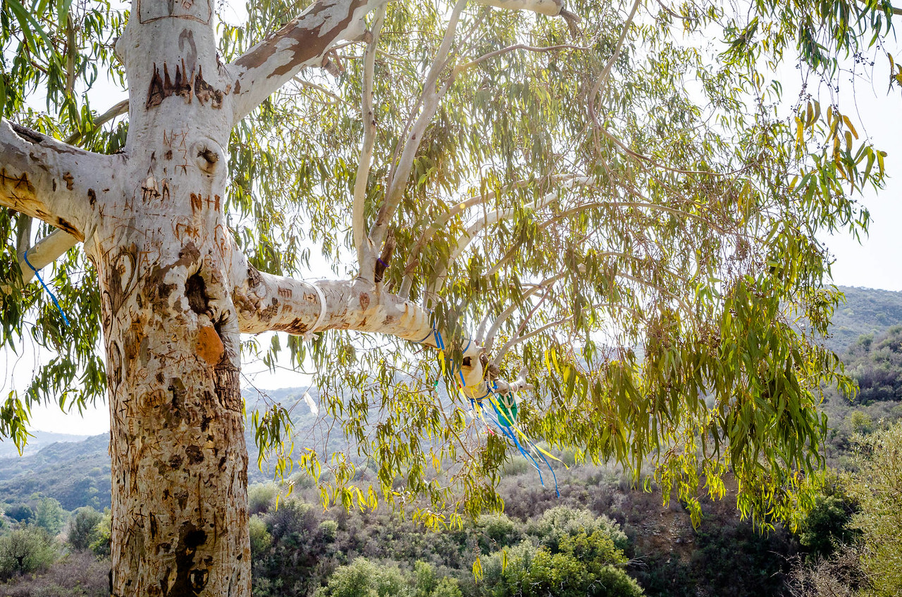 The old gum tree at Panagia tis Agapis | Vavla, Cyprus