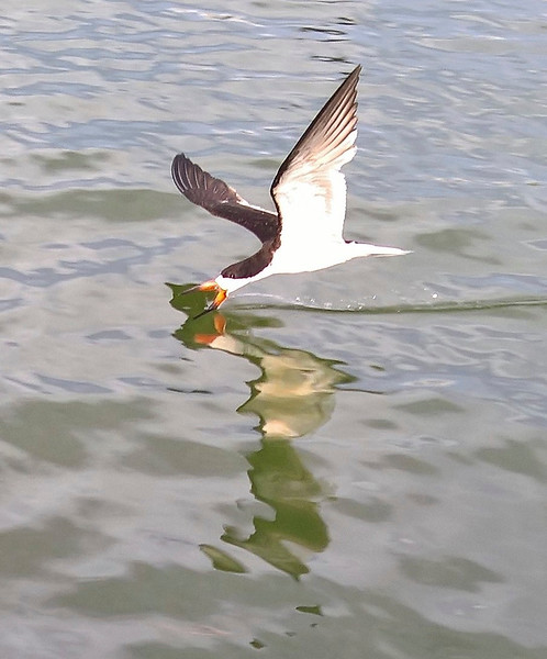 9_15_18 Skimmer fishing for dinner.jpg