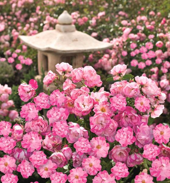 Monrovia Carpet Roses.png