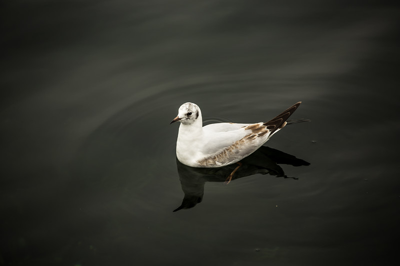 Pampering Seagull