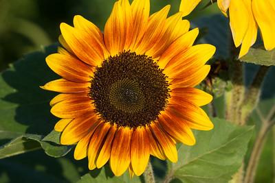Sunflowers_Sept. 4, 2016