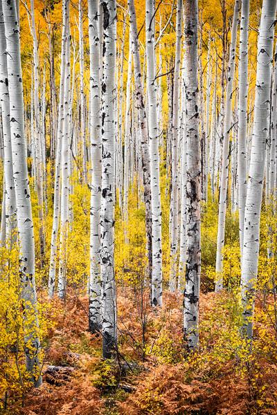 Autumn Aspens, Colorado