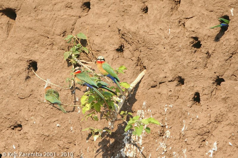 white_fronted bee-eater