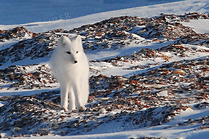 #538  An Arctic Fox on a kelp patch with his pristine white winter coat