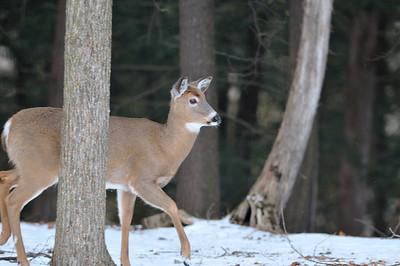 Deer - Alliston