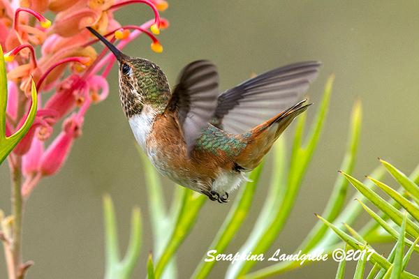 _DSC5524Allens Hummingbird.jpg