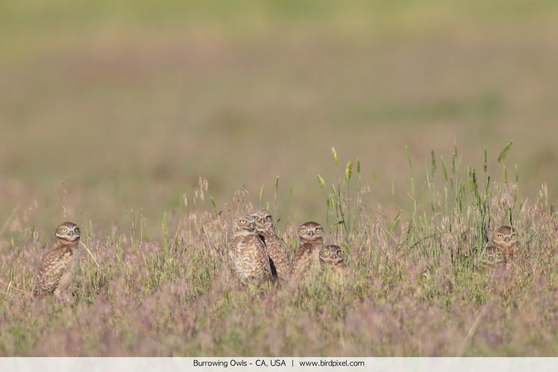 Burrowing Owls - CA, USA