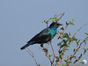 Cape Glossy Starling 2