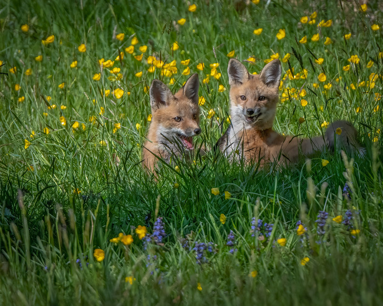 Fox Kits Smiling