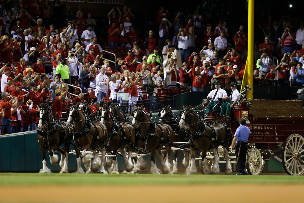 . The Budweiser Clydesdales make their way around the field before Game 1 of the National League baseball championship series between the St. Louis Cardinals and the Los Angeles Dodgers Friday, Oct. 11, 2013, in St. Louis.(AP Photo/Jeff Roberson)
