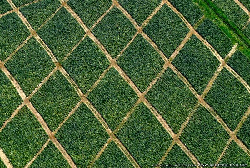 """Pineapple crops in Honduras<br> <a href=""""http://www.gettyimages.com/detail/photo/pineapple-crops-royalty-free-image/147872259"""">Available for licensed use</a>"""