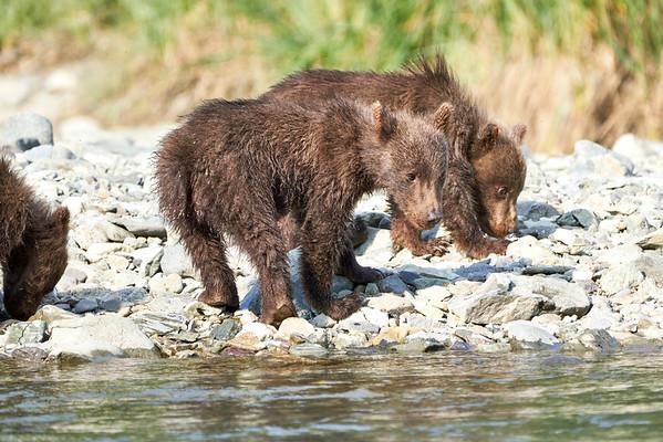Katmai Bear Video