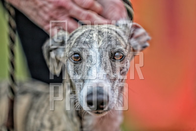whippet-marie