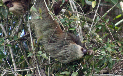 Sloth, Hoffman's Two-toed