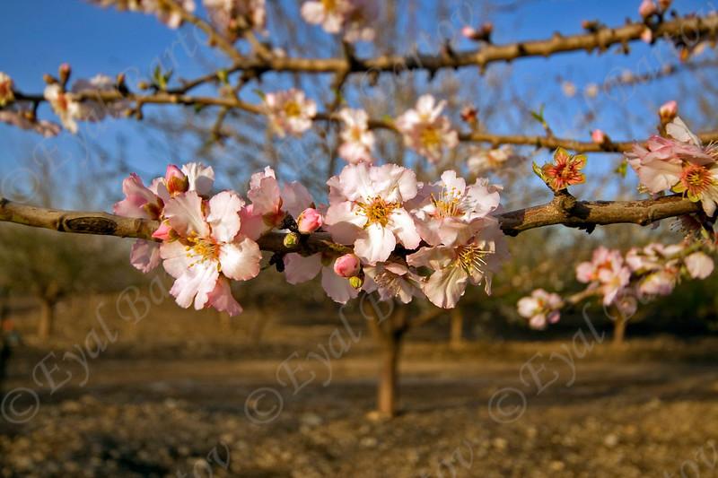 4U7C9990 Almond flowers.jpg