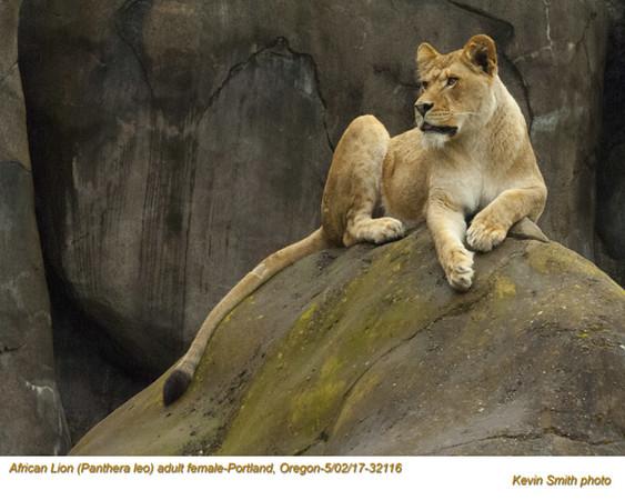 African Lion CF32116.jpg