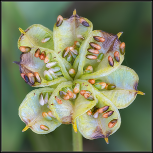 Gewone dotterbloem/Marsh Marigold