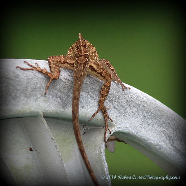 2014-06-01_IMG_0555__Brown Anole ,Clearwater,Fl..JPG