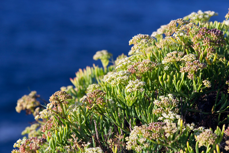 Wild plant on the top of a cliff, Cote Sauvage (Wild Coast), Quiberon, departament de Morbihan, Brittany, France