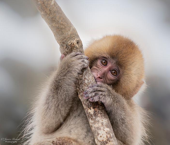 Juvenile Snow Monkey in Tree